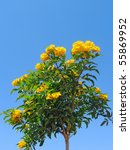 Small photo of Yellow flowers of Bush allamanda (Allamanda schottii) against blue sky