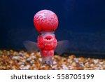 Flowerhorn Cichlid Crossbreed...