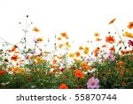 Colorful Daisies In Grass Fiel...