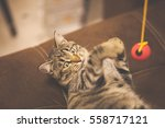 Stock photo striped cat playing with a red ball 558717121