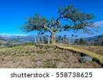 the sacred tree of el lechero ... | Shutterstock . vector #558738625