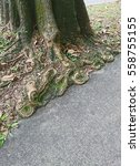 Small photo of This tree known as Alstonia scholaris has a history of root severed or damaged due to sidewalk construction. Occurrence of severed roots may be reduced with careful planning to avoid root damage.