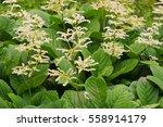 Rodgersia Aesculifolia  A...