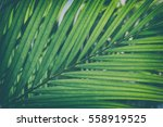 close up of palm leaves ... | Shutterstock . vector #558919525