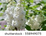 White Lilac. Selective Focus