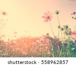 Cosmos Flowers Field With Warm...