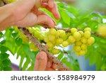 star gooseberry fruit.... | Shutterstock . vector #558984979
