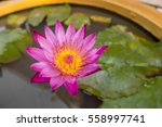 The Blossom Pink Lotus With...