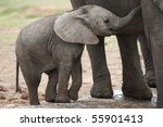 Young Baby African Elephant...