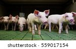 Pigs Purebred Puppies In Fence...
