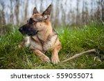 German Shepherd Dog Portrait.