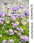 Small photo of Alpine aster flowering in a garden