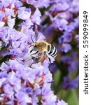 Small photo of White-banded Digger Bee Amegilla quadrifasciata collecting nectar