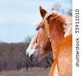 Belgian Draft Horse Gazing Int...