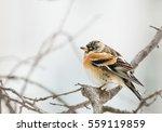brambling  fringilla... | Shutterstock . vector #559119859