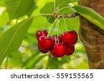 Cluster Of Ripe Cherries On...