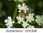 bee on white flower over green... | Shutterstock . vector #5591968