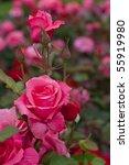 Stock photo blossom pink roses flower garden 55919980