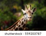 close up picture of a giraffe... | Shutterstock . vector #559203787