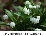 snowdrop spring flowers....   Shutterstock . vector #559228141