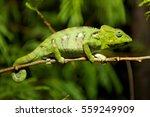 ocelot chameleon in florida | Shutterstock . vector #559249909
