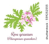 rose geranium or pelargonium... | Shutterstock .eps vector #559252555
