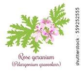 Rose Geranium Or Pelargonium...