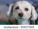Adorable Maltese Puppy Loungin...
