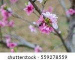 bumble bee pollinating...   Shutterstock . vector #559278559