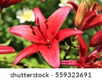 Red Lilies Bloom Under The Sun...