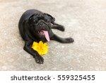 Pug Dog Laying With Yellow...