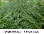 a fern in rain forest | Shutterstock . vector #559364521