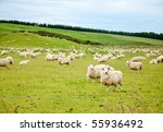 Sheeps At A Pasture In New...