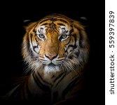 Tiger Take A Nap.