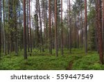 Footpath In A Pine Forest  A...