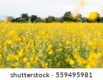 rapeseed field  blooming canola ... | Shutterstock . vector #559495981