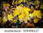 golden fall foliage autumn... | Shutterstock . vector #559498117