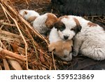 Stock photo puppies warm up together turkey village house dogs 559523869