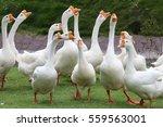 White Geese  Farmyard Goose