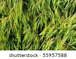 Field of rye viewed from above - stock photo