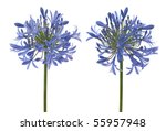 Agapanthus Blooms With Umbrell...