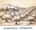 hand drawn olive grove... | Shutterstock .eps vector #559580191