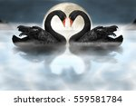 couple of black swans showing... | Shutterstock . vector #559581784