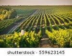 beautiful grape field growing... | Shutterstock . vector #559623145