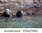 otter eating fish    Shutterstock . vector #559627681