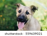 Stock photo happy puppy at summer sunny day looking to his owner 559639021