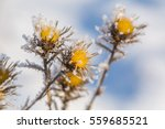 Withered And Dry Thistle Flowe...