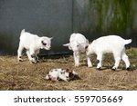 White Goat Kids Standing And...