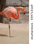 Small photo of American flamingo standing on one leg.
