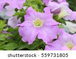 petunia flowers bloom in the... | Shutterstock . vector #559731805